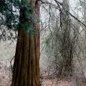 Bald cypress, White Clay Creek State Park